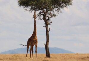 żyrafa żyrafy Afryka ciekawostki świat ze świata