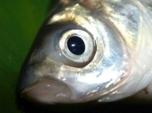 ryba karp ciekawostki o karpiu karpiach wigilijny karpie