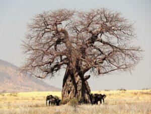 baobab afrykański baobaby ciekawostki
